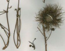 Sloanea cayapensis. (Foto Prensa Libre: (J. Jaramillo / www.researchgate.net)