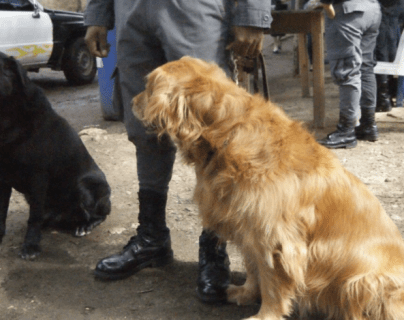 Sistema Penitenciario le apuesta a refuerzo de unidad canina para detectar ingreso de ilícitos en prisiones del país