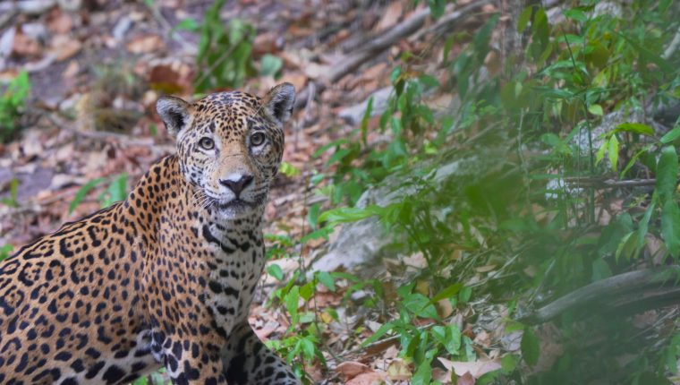 En la selva petenera habitan especies como el jaguar, que hoy están en peligro por la caza ilegal. (Foto Prensa Libre: Cortesía Gabriel Urruela)