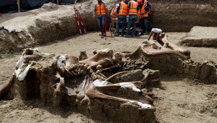 En México encontraron un número importante de restos de Mamut, en la zona donde se construye el Aeropuerto Felipe Ángeles, en el municipio de Zumpango. (Foto Prensa Libre: EFE)