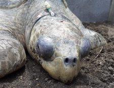 """La tortuga de parlama fue """"brutalmente golpeada en el cráneo"""", afirmó el Conap. (Foto Prensa Libre: Facebook Conap)"""