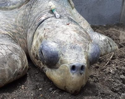 Amenaza ambiental: personas atacan y golpean a tortuga de parlama en playa Tecojate