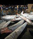 Autoridades mexicanas descubrieron que tiburones estaban rellenos de cocaína en 2009. Foto Prensa Libre: EFE (Archivo).