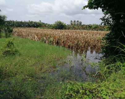 Maíz y frijol son los cultivos más impactados por la temporada de lluvias de 2020