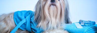 Mantener el aspecto estético de nuestra mascota puede hacerse en el hogar, siguiendo las recomendaciones de los especialistas, quienes también indican cuáles son los productos de higiene idóneos a utilizar. (Foto Prensa Libre, shutterstock)