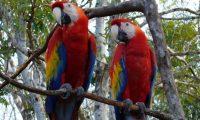 Recientemente 26 guacamayas rojas fueron liberadas en la Reserva de la Biosfera Maya, en Petén. (Foto Prensa Libre: Cortesía Conap)