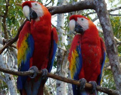 Bajo la sombra de la extinción, expertos luchan por conservar la única población de guacamayas rojas en Petén