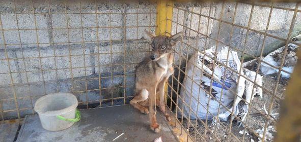 El coyote se encontraba en una jaula de metal, en la zona 6 de Mixco. (Foto Prensa Libre: Municipalidad de Mixco)