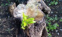 Se anunció recientemente que el árbol del Hermano Pedro empieza a tener brotes que significa que resurgirá nuevamente. (Foto Prensa Libre: Frailes Franciscanos de la Antigua Guatemala).