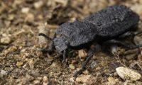 El  diabólico escarabajo acorazado es originario de los hábitats del desierto en el sur de California, Estados Unidos. (Foto Prensa Libre: David Kisailus / UCI