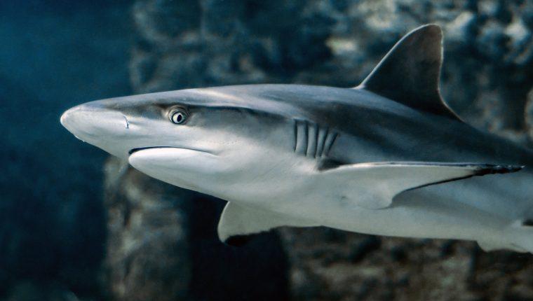tiburones covid-19