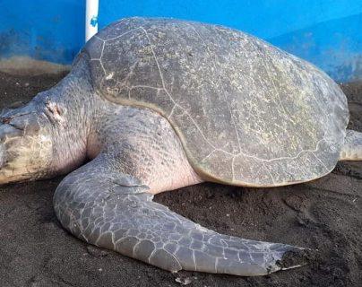 Tortuga de parlama que fue golpeada en Hawaii, Santa Rosa. (Foto Prensa Libre: Centro de Conservación Marina AGHN)