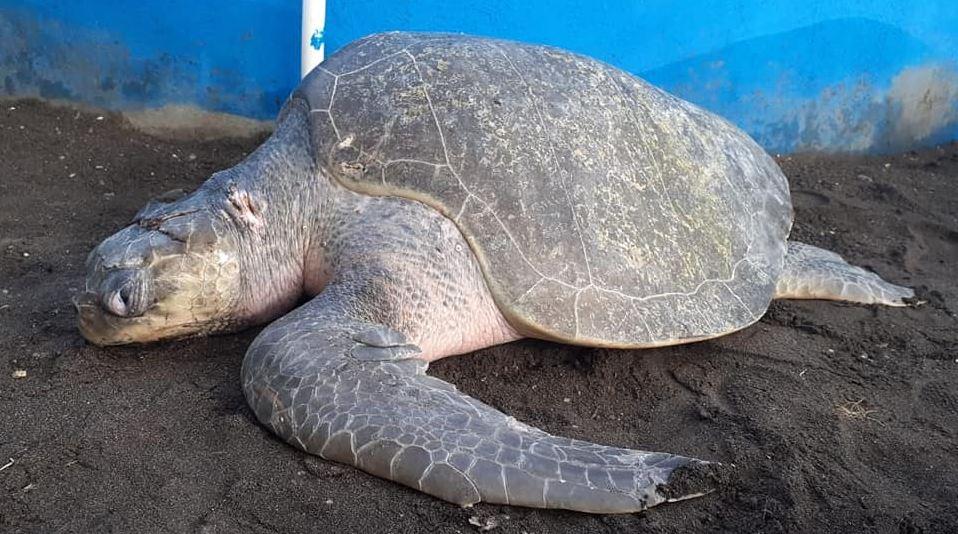 Este es el daño que los anzuelos (y los humanos) le causaron a dos tortugas de parlama en el Pacífico de Guatemala