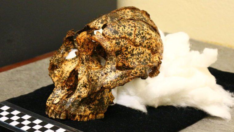 El cráneo de dos millones de años pertenece a la especie Paranthropus robustus.