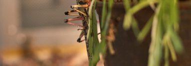 aceite de insectos