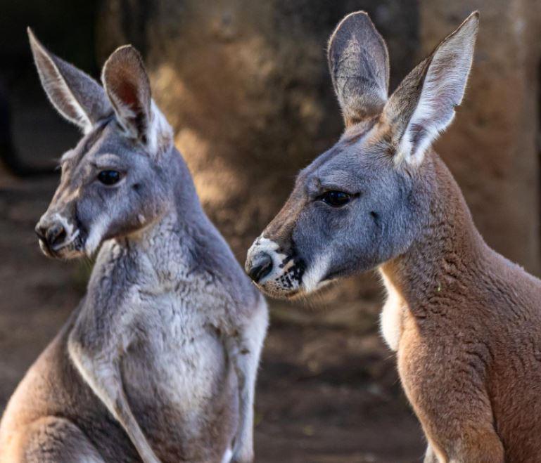 Conozca a los canguros rojos, los nuevos y tiernos integrantes del Zoológico La Aurora