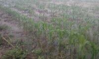 Cultivos se ven afectados por las inundaciones por Eta en Alta Verapaz. (Foto Prensa Libre: Maga)