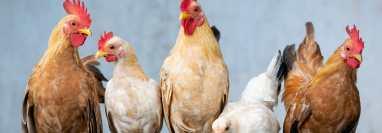 Aves de corral como gallos y gallinas pueden ser una compañía para la familia, pero hay que tomar en cuenta las necesidades específicas de su especie. (Foto Prensa Libre, Xuân Tuấn Anh Đặng de Pixabay)