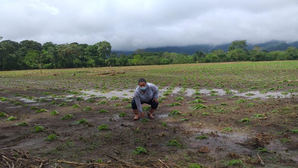 Eta: Daños finales dejan panorama desolador para la agricultura (recuperación será escalonada)