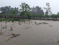 Cultivo de maíz con saturación de agua por efecto de las lluvias que provocó Iota en El Estor, Izabal. (Foto Prensa Libre: Maga)