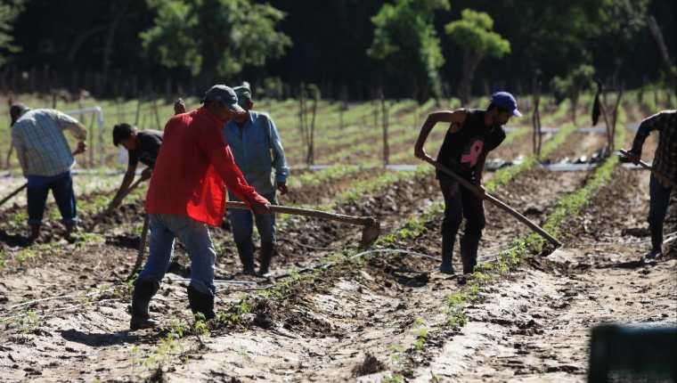 Daños en plantaciones de tomate que se encontraban en la orilla del Río Zapote en la ruta que conduce de Gualán a la Unión. (Foto Prensa Libre: Byron García)
