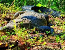 El cocodrilo vivió entre 14 y 15 años en el Parque Nacional. (Foto Prensa Libre: CONAP).