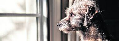 Las mascotas sienten estrés y ansiedad si se quedan solas en casa por varios días, lo cual les puede causar afecciones físicas y mentales.  (Foto Prensa Libre, Shutterstock)