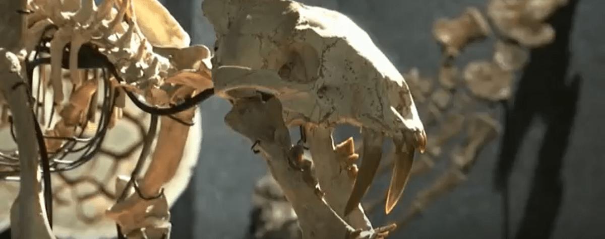 Subastan fósil de tigre con dientes de sable que vivió hace 37 millones de años