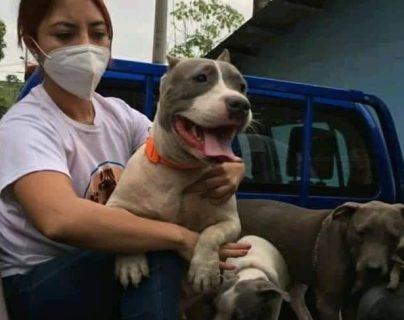 La PNC consignó a un albergue temporal en Escuintla a cinco pitbulls. (Foto Prensa Libre: Unidad de Bienestar Animal)
