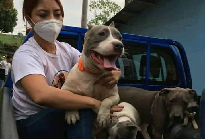 Qué harán las autoridades con los perros pitbull que habrían atacado y matado a una mujer en Escuintla