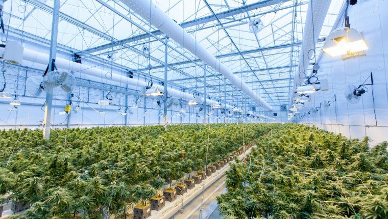 Alrededor de 50 países han puesto en marcha distintos programas de cannabis medicinal. (Foto Prensa Libre: Unsplash)