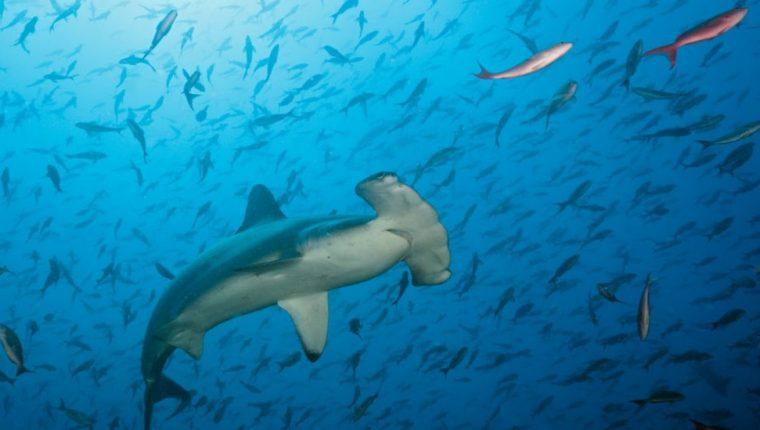 El tiburón martillo es una de las especies que está en peligro crítico, la categoría de amenaza más alta. GETTY IMAGES