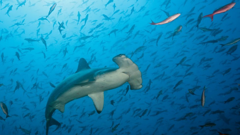 Cómo la dramática desaparición de tiburones y rayas los pone en camino de la extinción