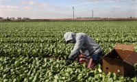 CALEXICO, CA - JANUARY 22: Farmworkers pick bok choy in a field on January 22, 2021 in Calexico, California. President Joe Biden has unveiled an immigration reform proposal offering an eight-year path to citizenship for some 11 million immigrants in the U.S. illegally as well as green cards to upwards of a million DACA recipients and temporary protected status to farmworkers already in the United States.  Sandy Huffaker/Getty Images/AFP == FOR NEWSPAPERS, INTERNET, TELCOS & TELEVISION USE ONLY ==