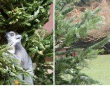 Los árboles donados servirán para enriquecimiento ambiental de los animales. (Foto Prensa Libre: Zoológico La Aurora)