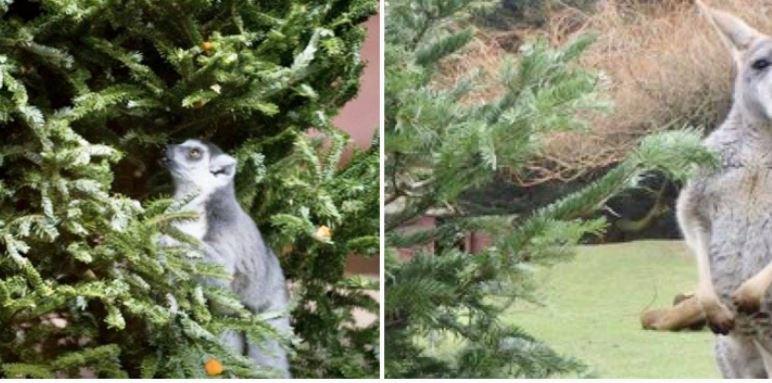 ¡No lo tire a la basura! Así puede donar su árbol de Navidad al Zoológico La Aurora