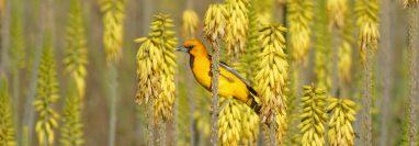 Las aves de oriente se caracterizan por tener una variedad de colores.