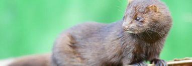 Un visón salvaje de Utah fue el primer animal salvaje al que se le encontró COVID-19 en Estados Unidos. Wikimedia Commons / Peter Trimming, CC BY-SA