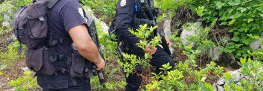 Plantaciones de hoja de coca localizadas en Alta Verapaz. (Foto Prensa Libre: PNC)