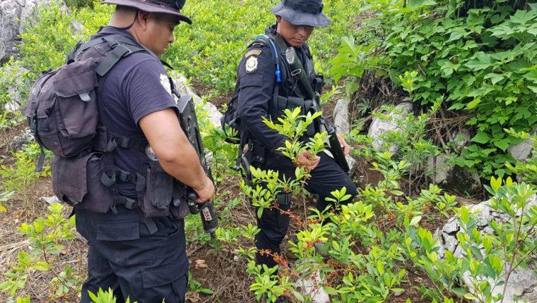 Erradicación de sembradíos de coca son cada vez más frecuentes en Guatemala