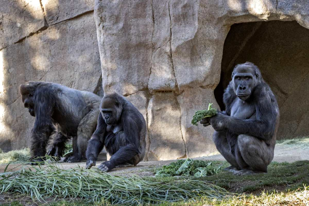 Dos gorilas de un zoológico en el oeste de EE. UU. dan positivo al covid-19