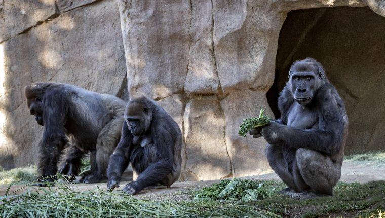 Varios gorilas en el zoológico de San Diego, en el sur de California, dieron positivo al nuevo coronavirus y fueron puestos en cuarentena. (Foto Prensa Libre: EFE)
