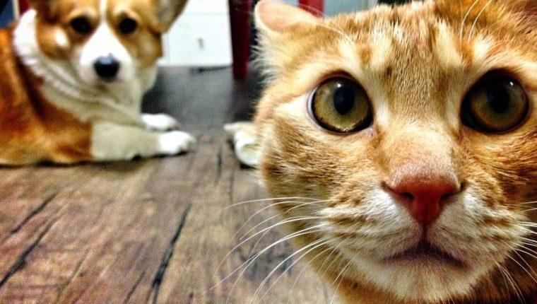 Si los animales dan positivo en la prueba, deberán cumplir la cuarentena en casa. (GETTY IMAGES)
