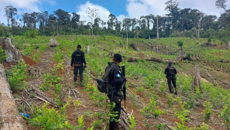 Agentes antinarcóticos de la PNC y efectivos del Ejército de Guatemala localizan unas 166 mil 800 matas coca en una aldea de El Estor, Izabal. (Foto Prensa Libre: PNC)