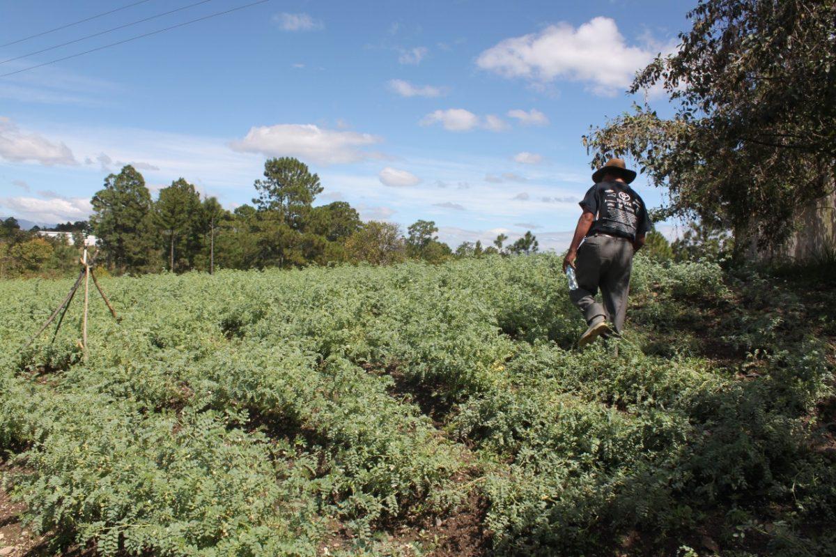 El garbanzo encontró un espacio para crecer en San Luis Sibilá, Momostenango, Totonicapán
