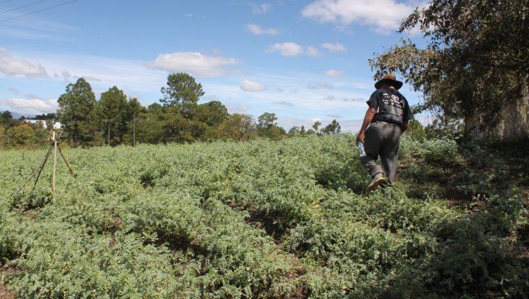 Pequeños productores de San Luis Sibilá, Momostenango, Totonicapán preparan la cosecha de garbanzo para finales de marzo de este año. (Foto Prensa Libre: Cortesía Yumus)