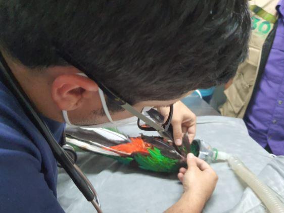 Ejemplar de Quetzal rescatado en Mazatenango muere debido a fractura que sufrió