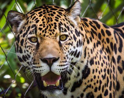 "Jaguar mata a otro tras ""terrible error"" en zoológico de Florida"