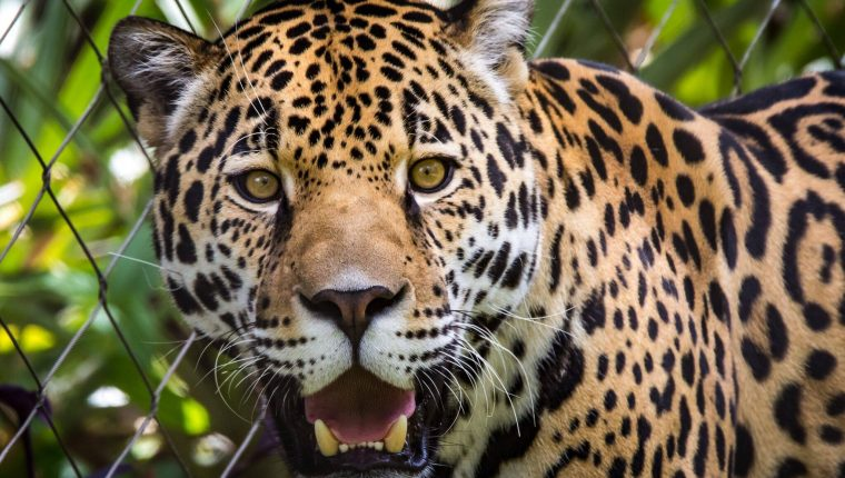 Zenta, un ejemplar hembra de jaguar, murió en un incidente ocurrido en un zoológico de Jacksonville, Florida. (Foto Prensa Libre: Jacksonville Zoo and Gardens)