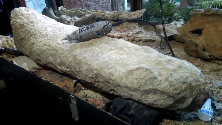 Hallazgo en Argentina: descubren cola de un armadillo gigante de hace 700 mil años